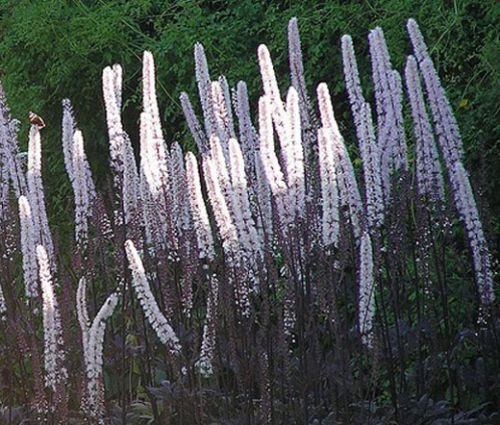 Bugbane Cimicifuga Seeds - Ramosa Atropurpurea