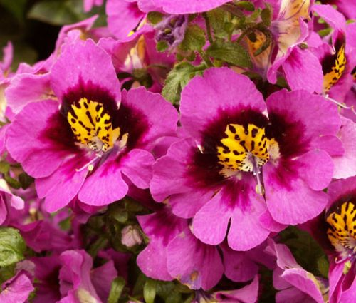 Butterfly Flower Seeds - Schizanthus x Wisetonensis Angel Wings