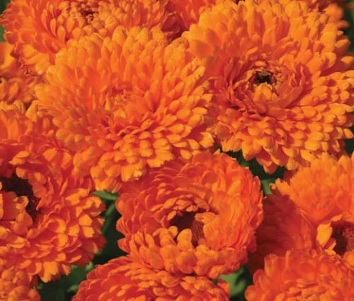 Calendula Geisha Girl Seeds - Calendula Officinalis