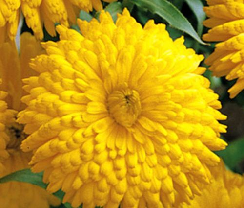 Calendula Golden Emperor Seeds - Calendula Officinalis