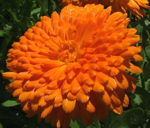 Calendula Orange King Seeds - Calendula Officinalis