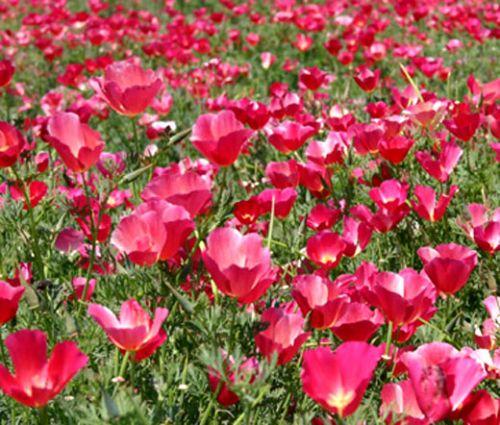California Poppy Carmine Seeds - Eschscholzia Californica