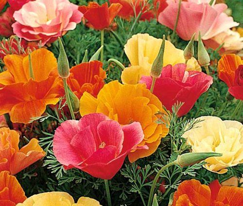 California Poppy Mission Bell Seeds - Eschscholzia Californica