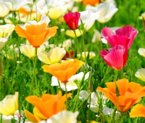 California Poppy Mixed Bulk Seeds - Eschscholzia Californica