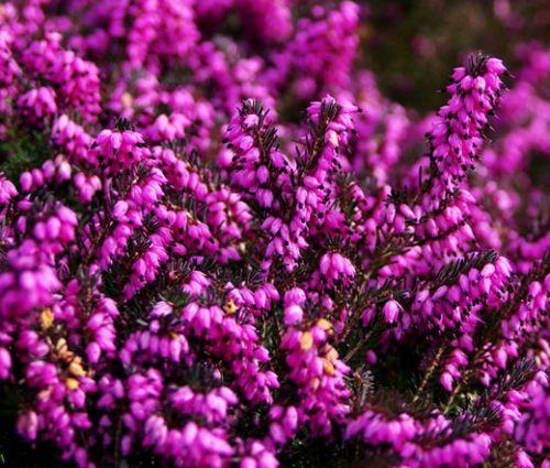 Calluna Scotch Heather Seeds - Calluna Vulgaris