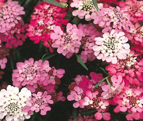 Candytuft Tall Seeds - Iberis Umbellata