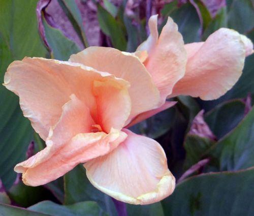 Canna Rose Seeds - Canna x Generalis