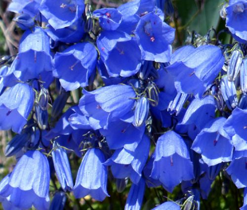 Canterbury Bells Blue Seeds - Campanula Medium
