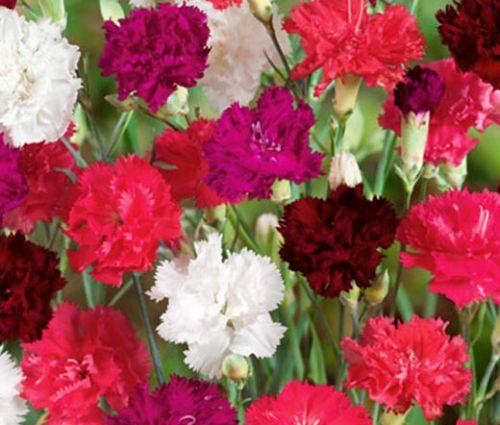 Carnation Mix Seeds - Dianthus Caryophyllus