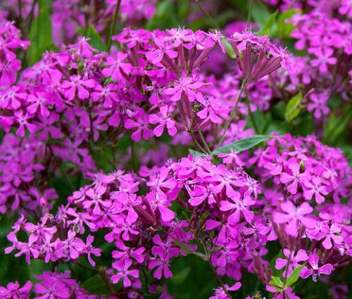 Catchfly None-So-Pretty Seeds - Silene Armeria