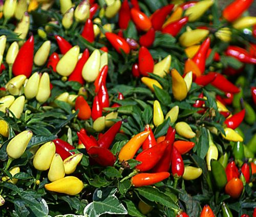 Chili Pepper Ornamental Prairie Fire Seeds - Capsicum Annuum