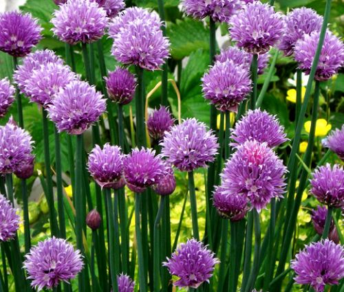 Chives Common Seeds - Allium Schoenoprasum