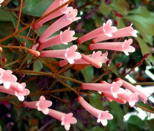 Cigar Plant Rose Seeds - Cuphea Ignea Coan
