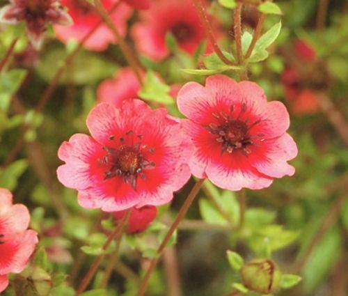 Cinquefoil Miss Willmott Seeds - Potentilla Nepalensis