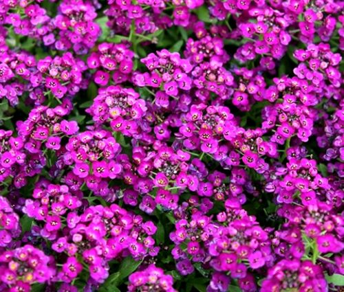 Alyssum Purple Royal Carpet Bulk Seeds - Lobularia Maritima