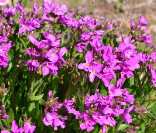 Wall Rock Cress Spring Charm Seeds - Arabis Blepharophylla