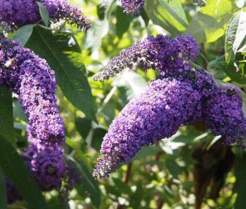 Butterfly Bush Violet Seeds - Buddleia Davidii