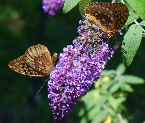 Butterfly Bush Violet  Seeds Buddleia Davidii