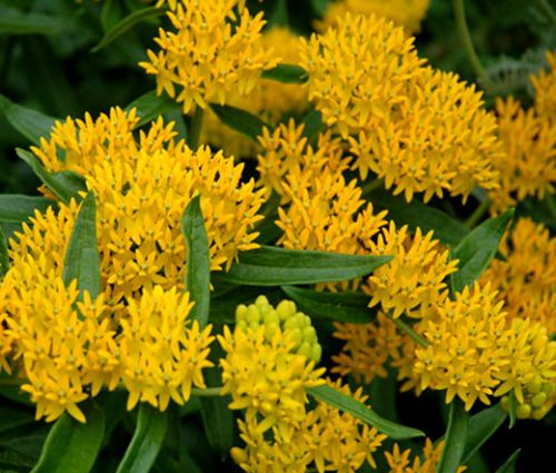 Butterfly Weed Hello Yellow Bulk Seeds - Asclepias Tuberosa