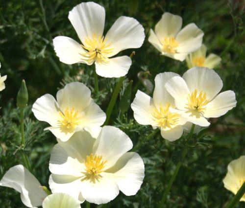 California Poppy White Seeds - Eschscholzia Californica