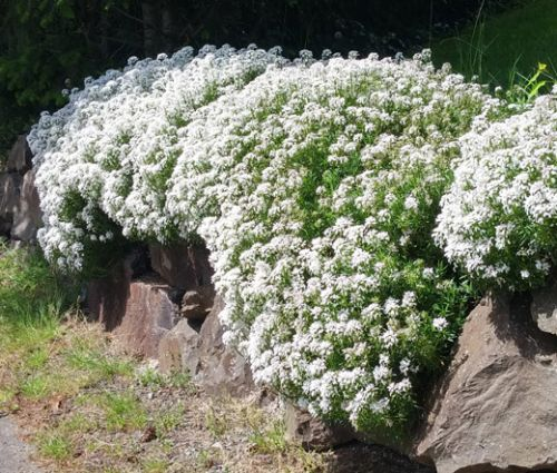 Candytuft Evergreen White Seeds - Iberis Sempervirens