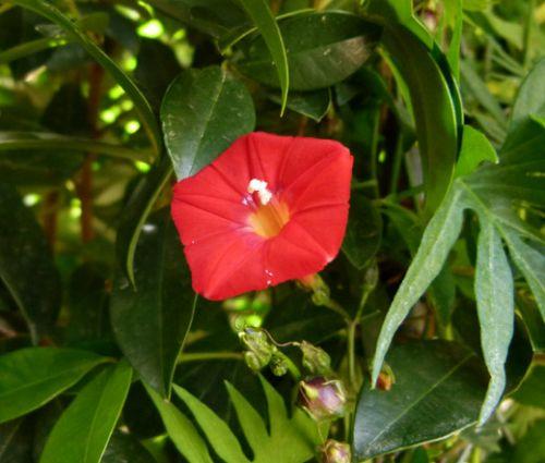 Cardinal Climber Seeds - Ipomoea x Multifida