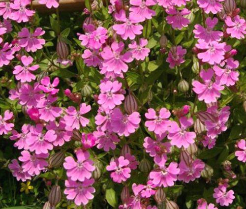 Catchfly Nodding Rose Triumph Seeds - Silene Pendula