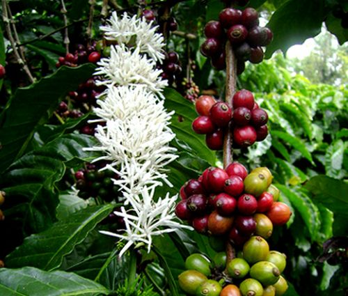 Coffee Arabian Seeds - Coffea Arabica Nana