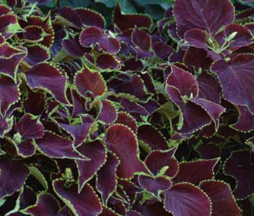 Coleus Chocolate Mint Seeds - Solenostemon Scutellarioides