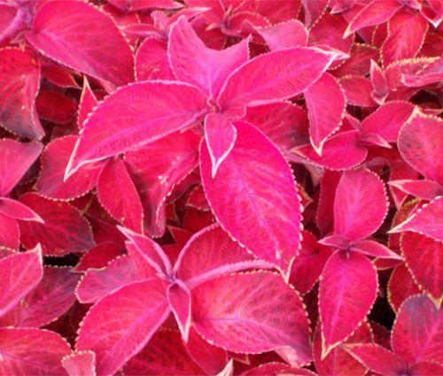 Coleus Jazz Ruby Seeds - Solenostemon Scutellarioides