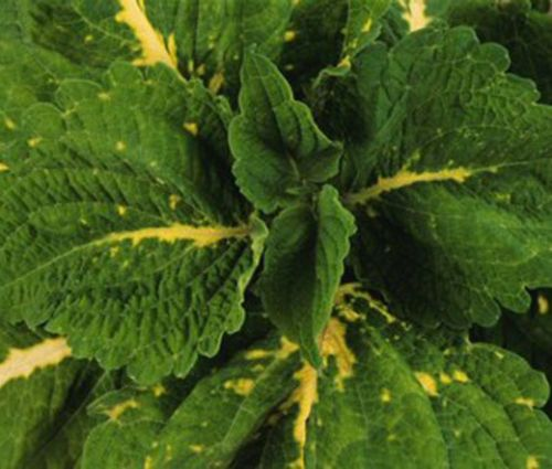 Coleus Kong Green Seeds - Solenostemon Scutellarioides