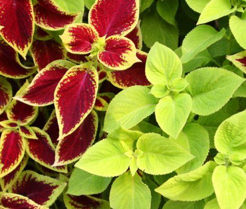 Coleus Under The Sun Fuseables Seeds - Solenostemon Scutellarioides