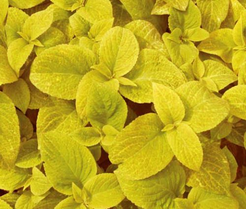 Coleus Wizard Golden Seeds - Solenostemon Scutellarioides