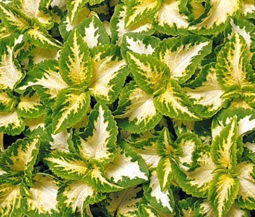 Coleus Wizard Jade Seeds - Solenostemon Scutellarioides