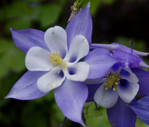 Columbine Blue Star Seeds - Aquilegia Caerulea