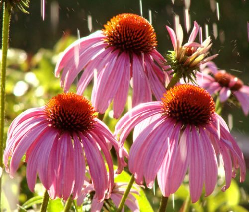 Coneflower Purple Seeds - Echinacea Purpurea