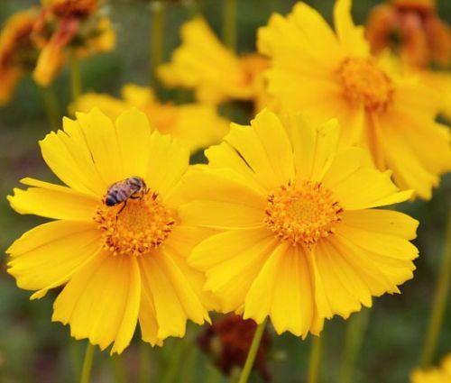 Coreopsis Lanceleaf Dwarf Seeds - Coreopsis Lanceolata