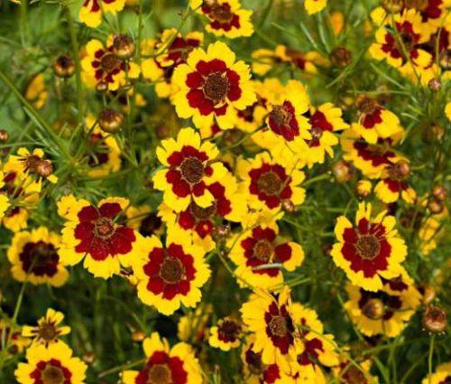 Coreopsis Plains Seeds - Coreopsis Tinctoria