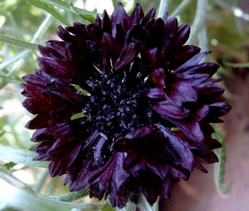 Cornflower Black Ball Seeds - Centaurea Cyanus