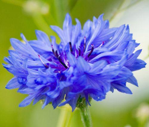 Cornflower Blue Dwarf Seeds - Centaurea Cyanus