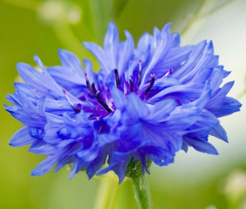 Cornflower Blue Tall Seeds - Centaurea Cyanus
