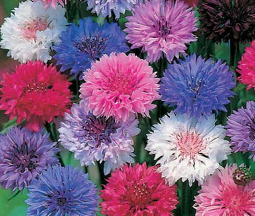 Cornflower Polka Dot Mix Tall Seeds - Centaurea Cyanus