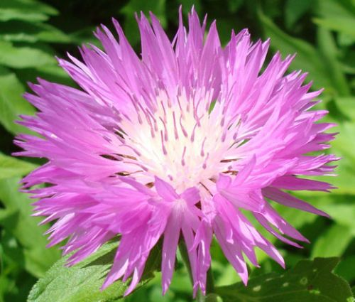 Cornflower Persian Seeds - Centaurea Dealbata