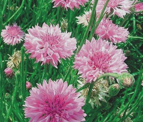 Cornflower Pink Tall Seeds - Centaurea Cyanus