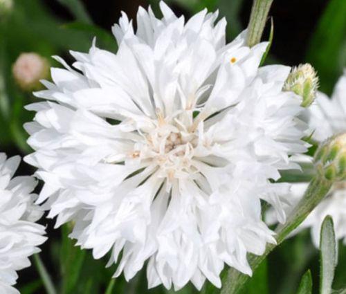 Cornflower White Dwarf Seeds - Centaurea Cyanus