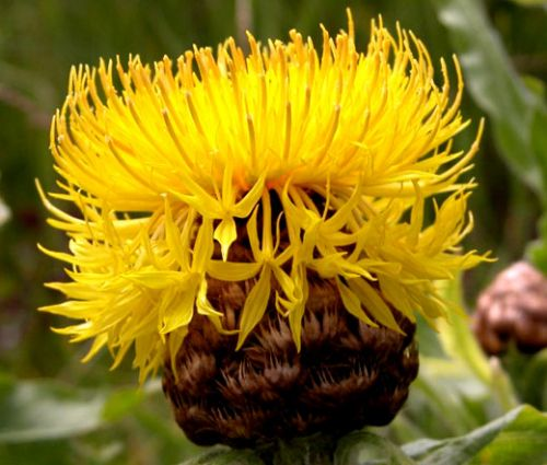 Cornflower Yellow Globe Seeds - Centaurea Macrocephala
