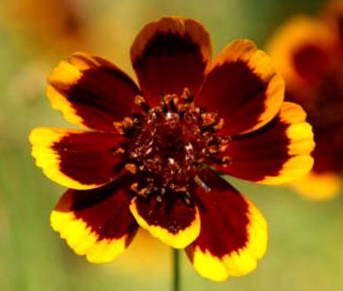 Cosmidium Brunette Seeds - Cosmidium Burridgeanum