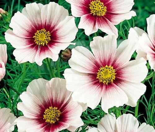 Cosmos Daydream Seeds - Cosmos Bipinnatus