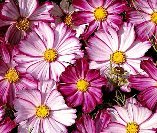 Cosmos Picotee Seeds - Cosmos Bipinnatus