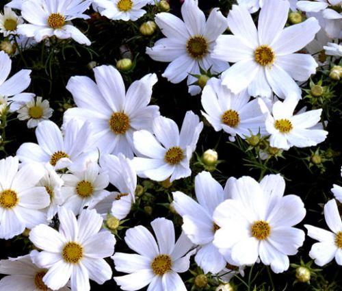Cosmos Purity Seeds - Cosmos Bipinnatus